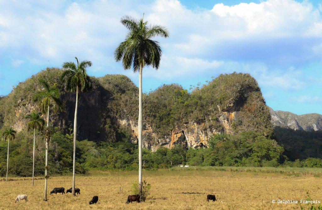 Plaine où des vaches noires broutent devant un massif rocheux