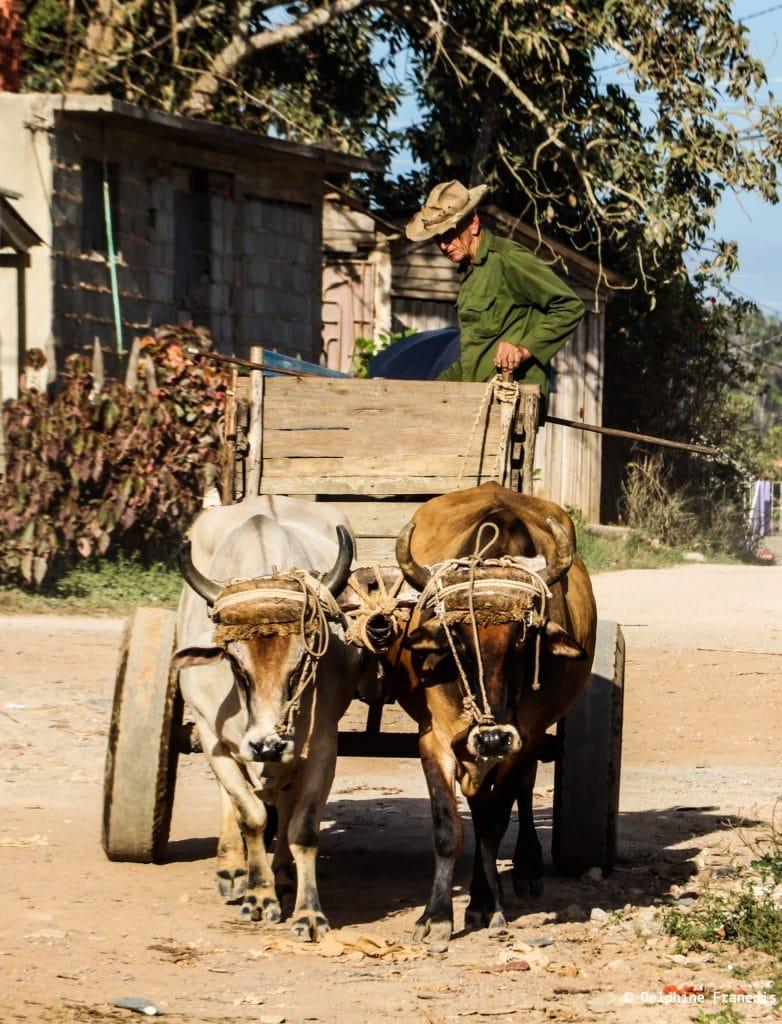 paysan sur charrette en bois tirée par deux bœufs