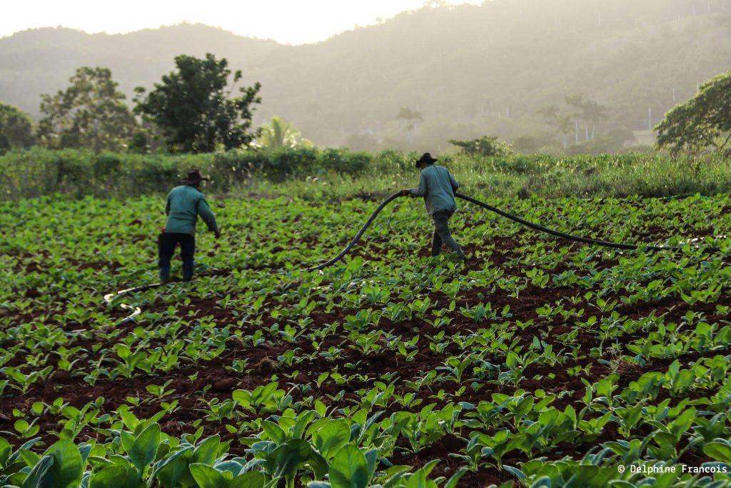 champs de tabac cultivé par deux hommes